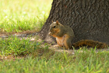 Fox Squirrel Sitting In The Shade Of A Tree On The Ground, Eating Sunflower Seeds