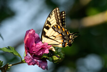 Tiger Swallowtail Butterfly Deep In A Pink Hibiscus Flower, Getting Nectar