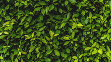 Green Leaves Pattern Background, Natural Background And Wallpaper. In Phuket Thailand.