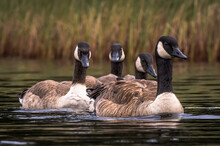 Image Of 4 Canada Geese Swimming Closely Together On A Calm Pond With Reeds In The Background. The Details Of The Feathers Are Sharp.