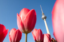Tulip Flowers And Berlin Television Tower (Fernsehturm Berlin) In Spring