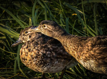 Close Up Image Of Two Ducks Standing On The Shore Of A Pond In The Setting Sun. The One Duck Is Reaching Over To Preen The Other Duck.