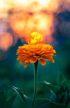 Macro Of A Single Orange Zinnia Flower Against Golden Hour Sunset Background With Bokeh Bubbles. Shallow Depth Of Field And Soft Focus