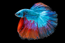 Rhythmic Of Betta Fighting Fish Over Isolated Black Background. The Moving Moment Beautiful Of Blue And Red Siamese Betta Fish With Copy Space.