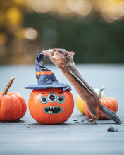 A Chipmunk Collects Nuts And Seeds From Pumpkins In October