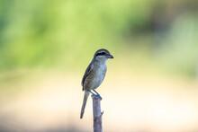 Brown Shrike In The Migration Season