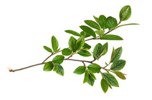 Waved Twig With Green Leaves Isolated