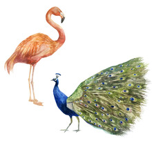 Watercolor Illustration Of Peacock And Flamingo. Peacock And Flamingo Hand-drawn In Watercolor.