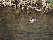 光が反射している水面を鴨が泳いでいます。 A Duck Is Swimming On The Surface Of The Water Where The Light Is Reflected.