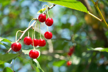 Ripe Red Cherries On A Tree Branch, A Close-up Shot.