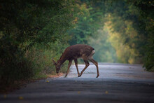 Sika Or Spotted Deer Standing On A Road In Alley