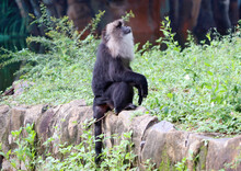 Lion Tailed Macaque Black Monkey's