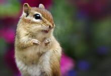 Chipmunk In The Wild