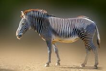 A Zibra Standing In The Sand On A Dark Background
