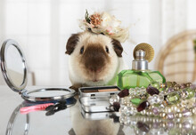 Amusing Rat With A Cap On Her Head At The Makeup Table