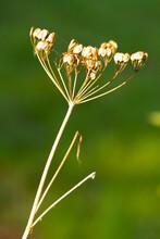 Common Hogweed (Heracleum Sphondylium) Seed Umbel In The Autumn Sunshine