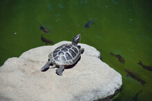 Black Turtle On A Rock In A Garden Pond With Fishes Swimming Around