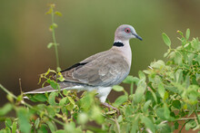 Mourning Collared-dove - Streptopelia Decipiens Or African Mourning Dove Is A Dove Widespread Resident Breeding Bird In Africa South Of The Sahara, Greyand Brown Colour, On The Green Bush