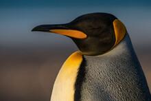 Un Manchot Royal Sur Une île Au Falkland.