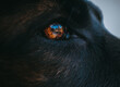 zbliżenie na oko owczarka niemieckiego z pięknym odbiciem