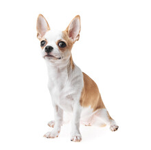 Beautiful And Cute White And Brown Mexican Chihuahua Dog Over Isolated Background. Studio Shoot Of Purebreed Miniature Chihuahua Puppy.