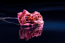 A Dry Red Rose Lies On A Black Mirrored Background, Reflected In It.