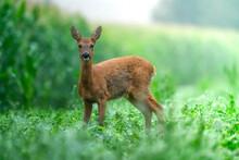 Deer In The Cornfield
