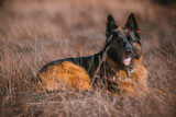 Fototapeta Zwierzęta - rasowy pies owczarek niemiecki leżący pośród traw