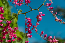 Antigonon Leptopus, Commonly Known As Coral Vine, Coralita, Bee Bush (in Many Caribbean Islands) Or San Miguelito Vine, Is A Species Of Flowering Plant In The Buckwheat Family, Polygonaceae.