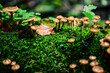 Honey fungus in a fairy-tale forest