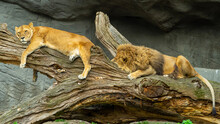 Lions Chilling On A Branch At The Zoo Of Hamburg