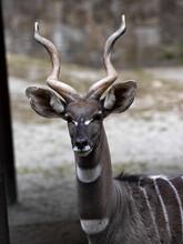 Portrait Of A Beautiful Male Lesser Kudu, Tragelaphus Imberbis, With Distinctive White Spots