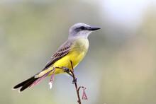 Tropical Kingbird (Tyrannus Melancholicus) Perched On A Branch