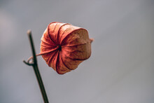 Red Poppy Flower, Nacka, Sweden, Sverige, Stockholm