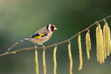Close Up Of A Goldfinch Perched On A Hazelnut Tree With Catkin