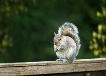 Grey Squirrel Eating Nuts On A Wooden Fence