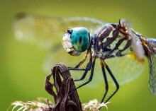 Close-up Of A Blue Dasher Dragonfly In Pearland, Texas!