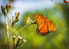 Gulf Fritillary On Wild Flowers Along The Nature Trail In Pearland, Texas!