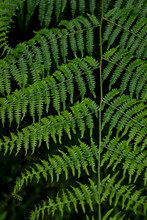 Close Up Of Fresh Green Common Lady Fern (Athyrium Filix-femina) With Fan Shaped Leaves. Also Suitable As An Abstract Background For Themes Related To Nature And Sustainability.