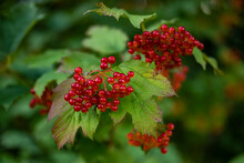 """Close Up Of A """"Guelder Rose"""" (Viburnum Opulus, Other Common Names Include Water Elder, Cramp Bark, Snowball Tree, Common Snowball) Branch With Red Ripe Fruits."""