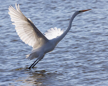 Great Egret Taking Off In Beautiful Light, Seen In The Wild In A North California Marsh