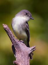 Eastern Phoebe Flycatcher Sayornis Phoebe  Woodland Habitat