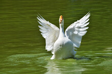 The White Goose Flaps Its Wings