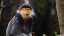 White Tailed Macaque