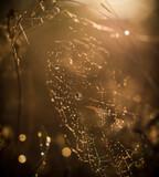 Fototapeta Fototapety do łazienki - sieć, pająk, charakter, rosa, woda, kropla, makro, insekt, pajęczyna, pajęczyna, net, deseń, poranek, kropla, sieci, deszcz, tekstura, pułapka, jesienią, projekt, pajęczyna, bliska, pająk, jedwab, lat