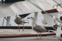 Closeup Of Caspian Gulls Perched On The Ground With Ships In The Blurry Background
