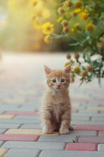 A Small Ginger Kitten Sits On The Paving Slabs Under A Bush Of Yellow Flowers On A Summer Sunny Day And Looks Into The Frame. The Concept Of Domestic Animals, Vaccination. Vertical Format. Copy Space