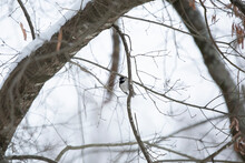 Carolina Chickadee On A Branch During Snow
