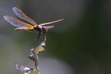Orange-purple Dragonfly On A Dark Blurred Background On A Dry Bush