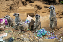 Meerkat Family At San Francisco Zoo.